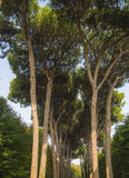 Italian stone pine forest Royalty Free Stock Photography