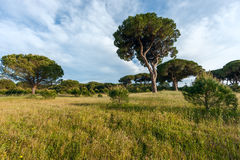 Italian stone pine Stock Photography