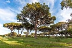 Italian stone pine Stock Images