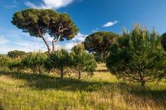 Italian stone pine Royalty Free Stock Photography