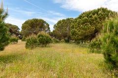 Italian stone pine Royalty Free Stock Photo