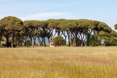 Italian stone pine Royalty Free Stock Image
