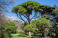 Italian stone pine Pinus pinea in front of Ai-Petri mountain background, Crimea. Vorontsov Palace and Park, Alupka region stock photography
