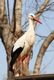 Italian stork Stock Photography