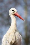Italian stork Royalty Free Stock Photography