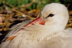 Italian stork Stock Images