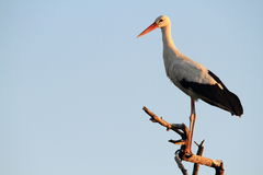 Italian stork Royalty Free Stock Image