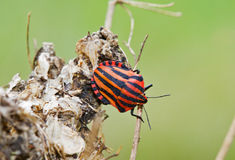 Italian Striped-Bug, also known as Minstrel Bug, a Stock Image
