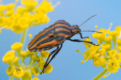 Italian Striped-Bug Royalty Free Stock Photography