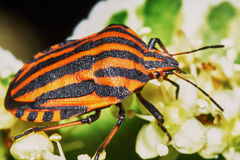 Italian striped bug Stock Photos