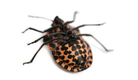 Italian Striped-Bug lying on the back, Graphosoma lineatum Royalty Free Stock Images