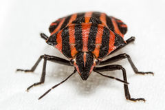 Italian Striped Bug macro shot Stock Photography