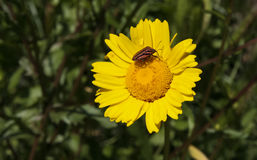 Italian striped-bug over a yellow daisy Royalty Free Stock Images