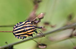 Italian Striped Bug on the plant Royalty Free Stock Photos