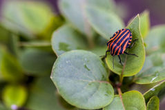 Italian Striped-Bug, shielder Royalty Free Stock Image
