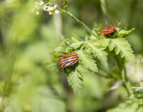 Italian striped bugs Stock Photography