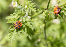 Italian striped bugs Royalty Free Stock Photography