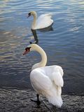 Italian swans Royalty Free Stock Images