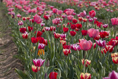 Italian tulips Stock Photography