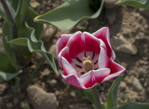 Italian tulips Royalty Free Stock Images