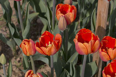Italian tulips Royalty Free Stock Photography