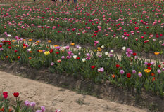 Italian tulips Stock Image