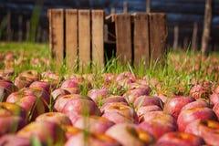 Italian typical apples Royalty Free Stock Photos
