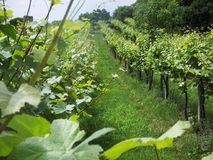 Italian vineyard Stock Photography