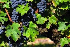 Free Italian Vineyard Stock Photos - 20993003