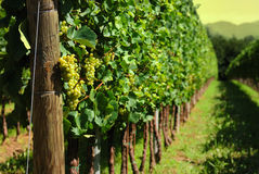 Italian Vineyard. A close up of an italian vineyard Stock Images