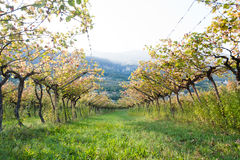 Italian vineyard Royalty Free Stock Photos