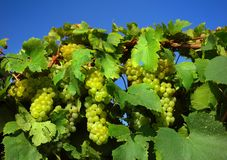 Italian vineyard Stock Image
