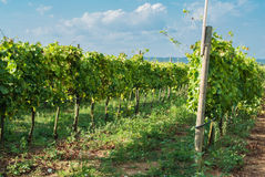Italian vineyard Stock Images