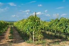 Italian vineyard Royalty Free Stock Images