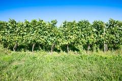 Italian vineyard Royalty Free Stock Photography