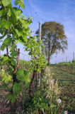 Italian vineyard in early spring, Italy, Friuli Royalty Free Stock Photography