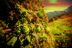 Italian vineyard idyllic landscape Royalty Free Stock Image