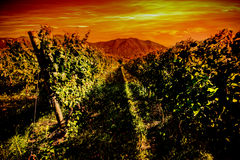 Italian vineyard idyllic landscape Stock Images