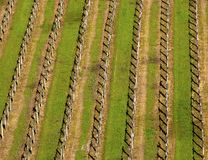 Italian vineyard in spring Royalty Free Stock Photos