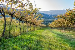 Italian vineyard in the sun. Trentino, Italy. Italian vineyard in the sun. Garda Lake wine. Grappa vines. Italy stock image
