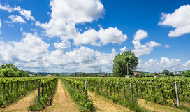 Italian Vineyard with sunny cloudy Sky. Beautiful frontal wide view of an italian vineyard panorama with sunny cloudy sky Royalty Free Stock Photography