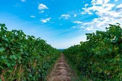 Italian vineyard under blue sky royalty free stock image