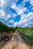 Italian vineyard under blue sky. And puffy clouds summer time stock images