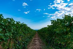 Italian vineyard under blue sky. And puffy clouds summer time stock photography
