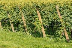 Italian Vineyard of the Valpolicella Wine near Verona. Close-up of a typical Italian red grape vineyard of the Valpolicella Wine at the base of the hill near royalty free stock image