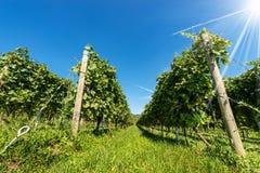 Italian Vineyard of the Valpolicella Wine near Verona. Close-up of a typical Italian red grape vineyard of the Valpolicella Wine on clear blue sky with sun rays stock photo