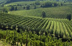 Italian Vineyards 2. Grape vineyards angle across the Italian hillside Royalty Free Stock Photography