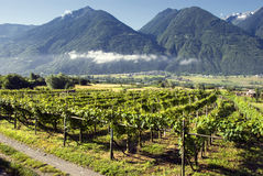 Italian vineyards Royalty Free Stock Image