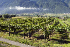 Italian Vineyards Stock Photos