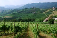 Italian vineyards. A typical Italian country farm with a beautiful vineyards Royalty Free Stock Photo
